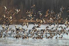 Ducks_FWS