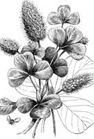botanical-drawing_small