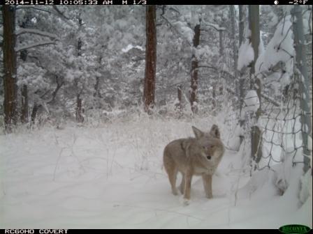 coyote - Copy