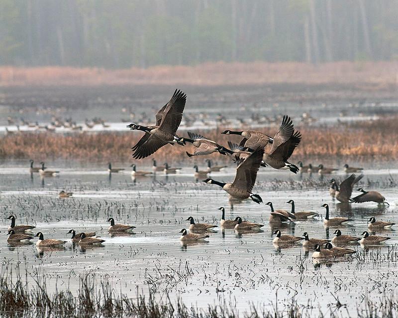 Geese Flyaway